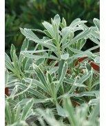 Silver Swan Euphorbia