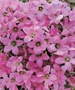 Dwarf Pink Bellflower