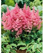 Music™ Country & Western Astilbe