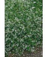 Silver Fog Euphorbia