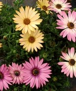 Zion™ African Daisy