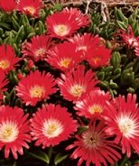Pink Ribbon Ice Plant