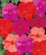 Sun Harmony® New Guinea Impatiens