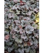 Rave On Heuchera