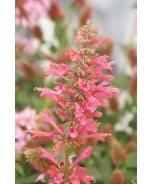 Raspberry Nectar™ Agastache