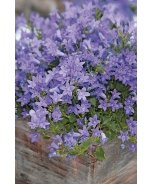 Dwarf Purple Bellflower