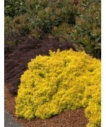 Golden Nugget™ Dwarf Japanese Barberry