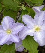 Blue Angel Clematis