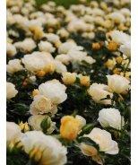 Popcorn Drift® Groundcover Rose