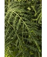 Crested Oriental Chain Fern