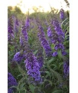 English Butterfly™ Peacock™ Butterfly Bush
