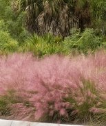 Regal Mist® Pink Muhly Grass