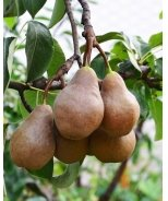 Four-in-One Combo Pear