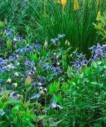 Blue Ribbons Bush Clematis