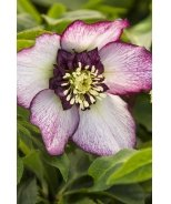 Winter Jewels® Cherry Blossom Lenten Rose