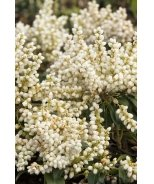 White Pearl Lily of the Valley Shrub