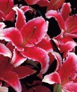 Showwinner Oriental Lily