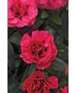 Oscar Cherry Velvet Dianthus