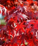 Fireglow Japanese Maple