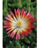 Eye Candy Ice Plant