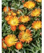 Wheels of Wonder® Orange Wonder Ice Plant