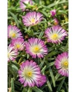 Wheels of Wonder® Violet Wonder Ice Plant