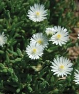 White Pearl Iceplant