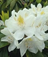Chionoides Rhododendron