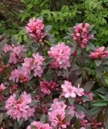 Weston's Aglo Rhododendron