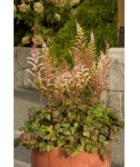 Color Flash® Astilbe