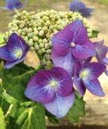Blue Cassel Hydrangea