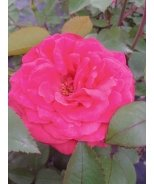 Winners Circle™ Climbing Rose