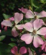 Look-A-Likes™ Phloxy Baby Rose
