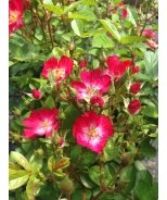 Look-A-Likes™ Hydrangealicious Rose