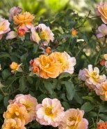 Flower Carpet® Amber Groundcover Rose