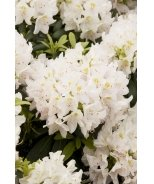 White Catawba Rhododendron