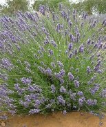Riverina Thomas French Lavender
