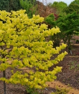 The Rising Sun™ Eastern Redbud