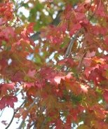 Armstrong Gold® Red Maple