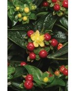 Ignite™ Scarlet Red Hypericum