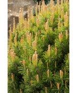 Compact Mugo Pine