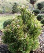 Upright Mugo Pine