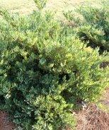 Blue Cascade® Evergreen Distylium