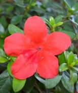 Bloom 'N Again® Strawberry Kiss Azalea