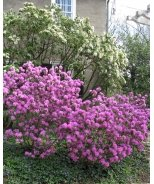 Olga Mezitt Rhododendron
