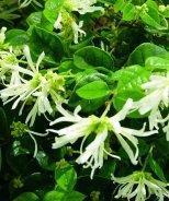 Carolina Moonlight™ Fringe Flower