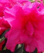 Bloom 'N Again® Lavender Twist Azalea