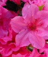 Bloom 'N Again® Pink Explosion Azalea