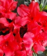 Bloom 'N Again® Love U Lots Azalea