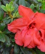 Bloom 'N Again® Orange Satin Azalea